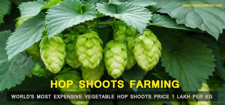 Hop shoots the vegetable price