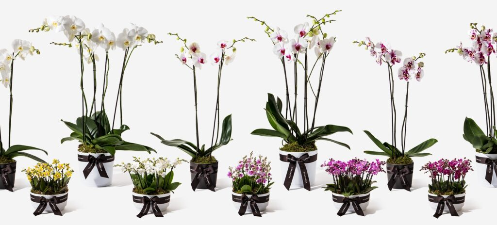 Buy orchids online uk